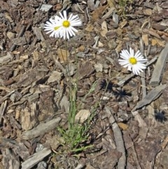 Brachyscome dentata (Lobe-seed Daisy) at Sth Tablelands Ecosystem Park - 30 Nov 2017 by galah681