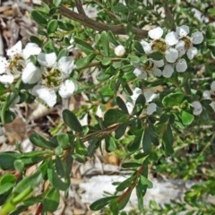 Leptospermum obovatum (River Tea Tree) at Sth Tablelands Ecosystem Park - 28 Nov 2018 by galah681