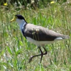 Vanellus miles (Masked Lapwing) at Sth Tablelands Ecosystem Park - 30 Nov 2017 by galah681