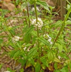 Mentha australis (River mint) at Sth Tablelands Ecosystem Park - 27 Dec 2017 by galah681