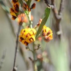 Daviesia mimosoides subsp. mimosoides at Wamboin, NSW - 27 Oct 2018 by natureguy