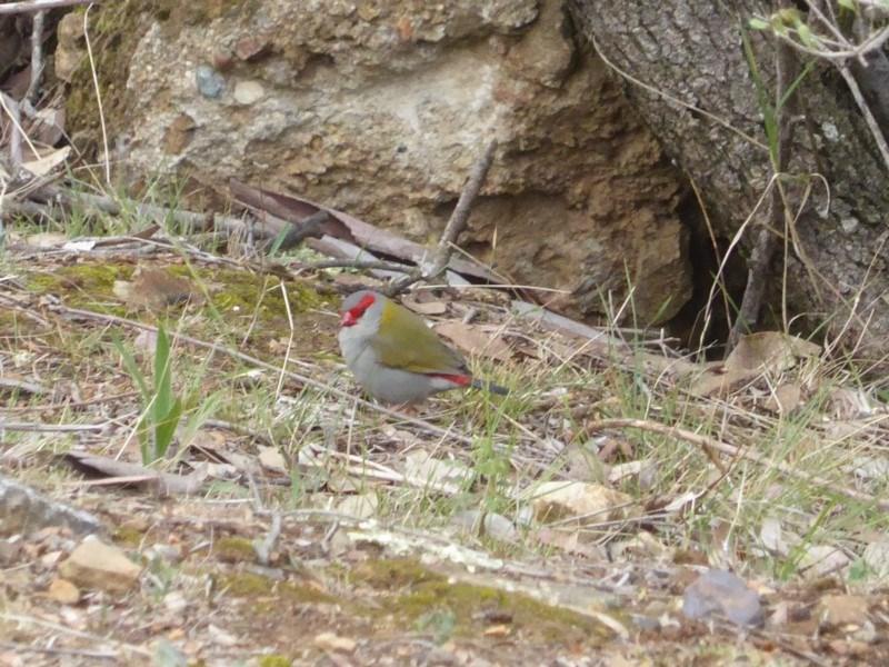 Neochmia temporalis at Red Hill Nature Reserve - 23 Nov 2018