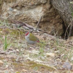 Neochmia temporalis (Red-browed Finch) at Red Hill Nature Reserve - 22 Nov 2018 by JackyF