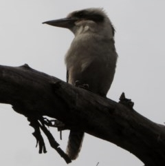 Dacelo novaeguineae (Laughing Kookaburra) at Red Hill Nature Reserve - 22 Nov 2018 by JackyF