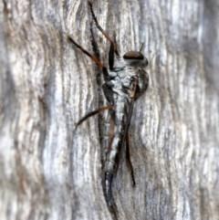 Cerdistus sp. (genus) (Robber fly) at Majura, ACT - 21 Nov 2018 by jbromilow50