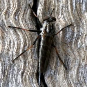 Cerdistus sp. (genus) at Mount Ainslie - 21 Nov 2018