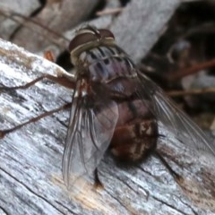 Rutilia (Rutilia) sp. (genus & subgenus) (Bristle fly) at Mount Ainslie - 21 Nov 2018 by jbromilow50