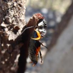 Apricia jovialis (Jovial jumping spider) at Mount Mugga Mugga - 19 Nov 2018 by Christine