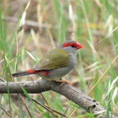 Neochmia temporalis (Red-browed Finch) at Jerrabomberra Wetlands - 21 Nov 2018 by KumikoCallaway