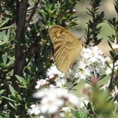 Heteronympha merope (Common Brown) at Sth Tablelands Ecosystem Park - 30 Nov 2017 by galah681