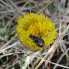 Dicranolaius villosus (Melyrid flower beetle) at Cooma Grasslands Reserves - 16 Nov 2018 by JanetRussell