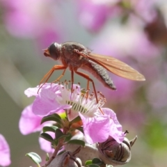 Bombyliidae sp. (family) at Acton, ACT - 22 Nov 2018