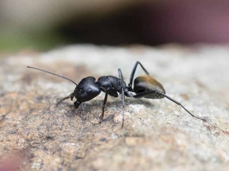 Camponotus aeneopilosus at Michelago, NSW - 18 Nov 2018