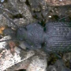 Adelium porcatum (Darkling Beetle) at Mount Ainslie - 21 Nov 2018 by jbromilow50