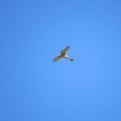 Falco cenchroides (Nankeen Kestrel) at Burra, NSW - 23 Nov 2018 by KShort