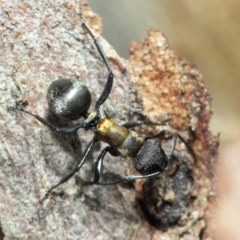 Polyrhachis ornata (Ornate spiny ant) at ANBG - 21 Nov 2018 by TimL