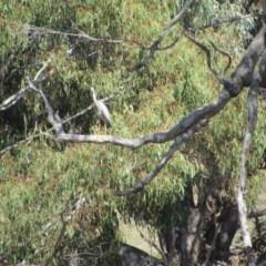 Egretta novaehollandiae (White-faced Heron) at Burra, NSW - 23 Nov 2018 by KShort