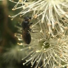 Euryglossa sp. (genus) (A native bee) at ANBG - 13 Nov 2018 by PeterA
