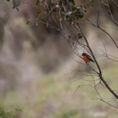 Petroica phoenicea (Flame Robin) at Namadgi National Park - 24 Nov 2018 by RichForshaw