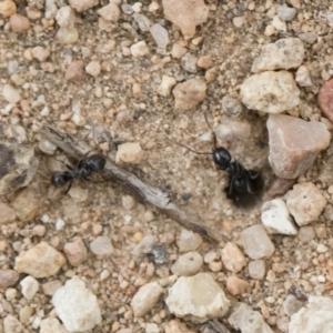 Anonychomyrma sp. (genus) at Illilanga & Baroona - 2 Nov 2018