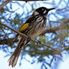 Phylidonyris novaehollandiae (New Holland Honeyeater) at Jerrabomberra Wetlands - 24 Nov 2018 by RodDeb