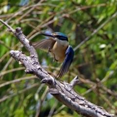 Todiramphus sanctus (Sacred Kingfisher) at Jerrabomberra Wetlands - 24 Nov 2018 by RodDeb