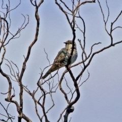 Chalcites basalis (Horsfield's Bronze-Cuckoo) at Jerrabomberra Wetlands - 24 Nov 2018 by RodDeb