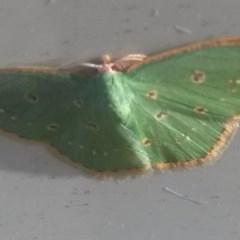 Comostola laesaria (A geometrid moth) at Waramanga, ACT - 10 Jul 2018 by DLAING