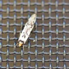Philobota lysizona (A concealer moth) at Wamboin, NSW - 26 Oct 2018 by natureguy