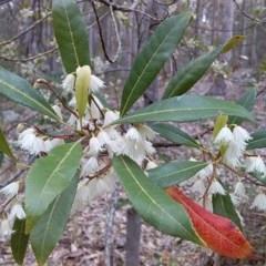 Elaeocarpus reticulatus (Blueberry Ash) at Meroo National Park - 24 Nov 2018 by GLemann