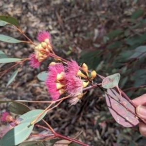 Eucalyptus sideroxylon at Deakin, ACT - 22 Nov 2018