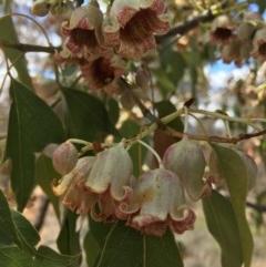 Brachychiton populneus subsp. populneus (Kurrajong) at Stirling Park - 25 Nov 2018 by KL