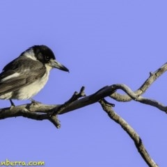 Cracticus torquatus (Grey Butcherbird) at Hughes Grassy Woodland - 23 Nov 2018 by BIrdsinCanberra