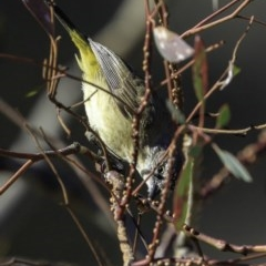 Acanthiza chrysorrhoa (Yellow-rumped Thornbill) at Red Hill Nature Reserve - 23 Nov 2018 by BIrdsinCanberra