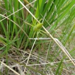 Neosparassus sp. (genus) (Unidentified Badge huntsman) at Dry Plain, NSW - 16 Nov 2018 by JanetRussell