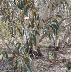 Eucalyptus pauciflora (Snow Gum) at Black Flat at Corrowong - 22 Nov 2018 by BlackFlat