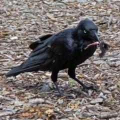 Corvus coronoides (Australian Raven) at Commonwealth & Kings Parks - 25 Nov 2018 by RodDeb