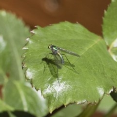 Austrosciapus sp. (genus) (Long-legged fly) at Illilanga & Baroona - 10 Nov 2018 by Illilanga