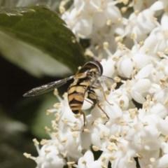 Simosyrphus grandicornis (Common hover fly) at Illilanga & Baroona - 9 Nov 2018 by Illilanga