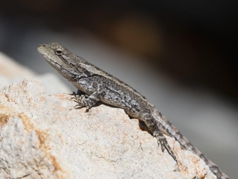 Amphibolurus muricatus at Illilanga & Baroona - 27 Oct 2018