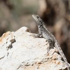 Amphibolurus muricatus at Michelago, NSW - 27 Oct 2018