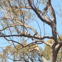Dacelo novaeguineae (Laughing Kookaburra) at Wamboin, NSW - 21 Oct 2018 by natureguy