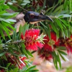 Philemon corniculatus (Noisy Friarbird) at Morton, NSW - 25 Nov 2018 by vivdavo