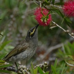 Caligavis chrysops (Yellow-faced Honeyeater) at Morton, NSW - 25 Nov 2018 by vivdavo