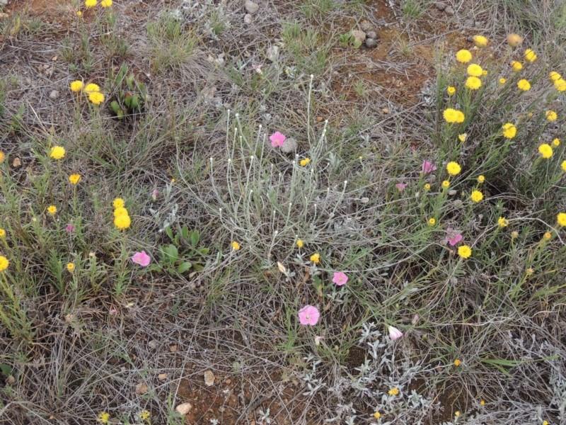 Convolvulus angustissimus subsp. angustissimus at Crace Grasslands - 22 Nov 2018