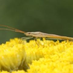 Mutusca brevicornis at ANBG - 25 Nov 2018