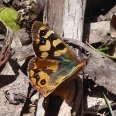 Argynnina cyrila (Forest brown, Cyril's brown) at Tallaganda State Forest - 25 Nov 2018 by Christine