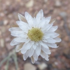 Leucochrysum albicans subsp. tricolor (Hoary Sunray) at Carwoola, NSW - 24 Nov 2018 by Christine