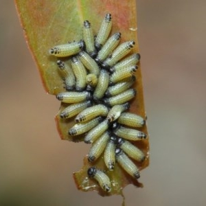 Paropsis genus-group at ANBG - 25 Nov 2018