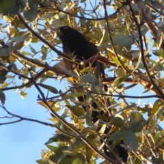 Eudynamys orientalis (Eastern Koel) at Hughes Grassy Woodland - 25 Nov 2018 by JackyF